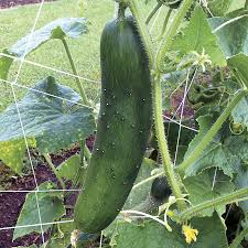 your cucumbers u0027 best friends official blog of park seed