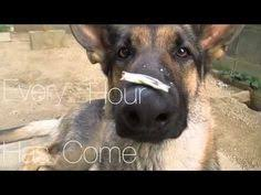 belgian shepherd youtube belgian malinois breeders louisiana puppies pinterest