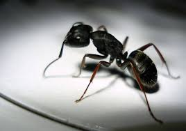 Natural Ant Killer For Kitchen by Tips For Humane Nontoxic Ant Control Peta