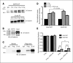 sirt2 interacts with β catenin to inhibit wnt signaling output in