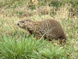 a groundhog is good for more than just predicting weather