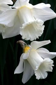 White Trumpet Flower - 1785 best plants images on pinterest flower gardening flowers