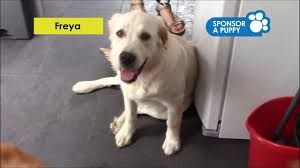 Sponsor A Puppy For The Blind Sponsor A Puppy Freya U0027s Puppy Gallery Guide Dogs