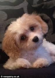 bichon frise nashville puppy being rescued in preston was last seen four days ago daily