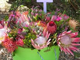 South African Wild Flowers - best 25 south african flowers ideas on pinterest spider mums
