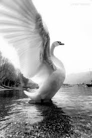 best 25 white swan ideas on pinterest swans swan and beautiful