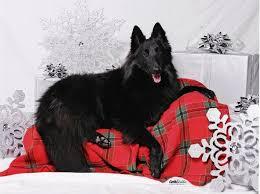belgian sheepdog national specialty isengard u0027s slide u0027n into bayview u2013 isengard belgian sheepdogs