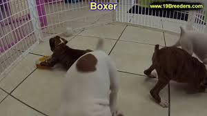boxer dog utah boxer puppies dogs for sale in raleigh north carolina nc