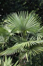 plants native to arkansas 13 cold hardy palm trees hgtv