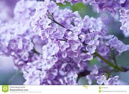 lilac flowers branch of lilac flowers stock image image of bunch balmy 34784591