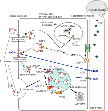 ijms free full text aquaporins in urinary extracellular