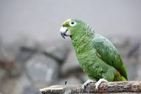 keeping a large parrot as a pet
