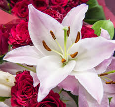lilies flower types of lilies flower pressflower press