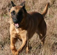 belgian shepherd vs pitbull fight indian dog breeds dogs from india indian dogs k9 research lab