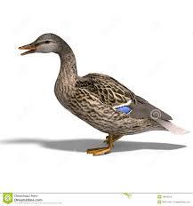 female duck mallard stock images image 10926914