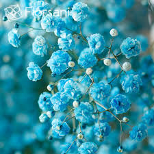 baby breath sky blue tinted baby s breath