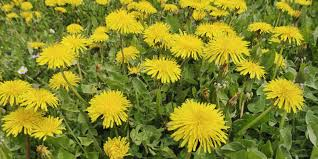native michigan plants edible weeds wild plants and weeds you can eat