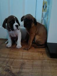 mastiff x boxer dog boxer x bull mastiff puppies for sale manchester greater