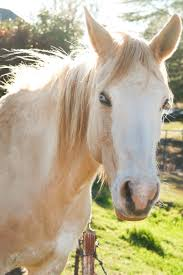 white mustang horse white and brown horse staring free image peakpx