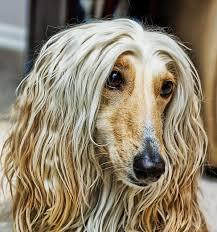 afghan hound king of dogs 831 best images about melhor amigo do homem on pinterest