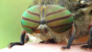 hybomitra horse fly close up youtube
