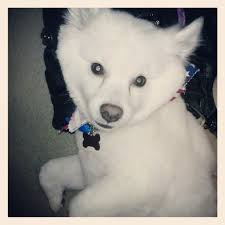 american eskimo dog lion cut wakame chan u0027s lion cut we go everytime she u0027s in town for touch