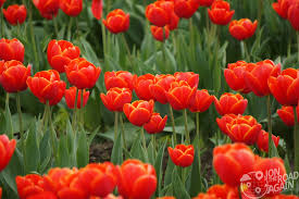 Skagit Valley Tulip Festival Bloom Map Skagit Valley Tulip Festival In Mount Vernon Wa Jon The Road Again