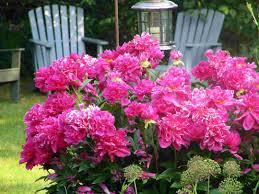 small flower garden design greatindex net peony bush idolza