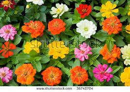 Zinnias Flowers Zinnia Flowers Stock Images Royalty Free Images U0026 Vectors