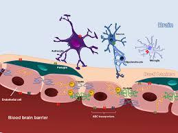 Blood Brain Barrier Anatomy Frontiers The Role Of The Blood U2013brain Barrier In The Development