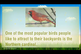 attracting cardinals to your backyard with bird feeders youtube