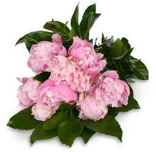 peonies delivery peonies peony flower delivery flowers florists brisbane