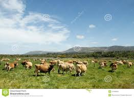herd of free range jersey dairy cows on a farm stock photo image