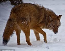 West Virginia travel fox images Meet the 39 coywolf 39 a hybrid of a wolf and a coyote which is taking jpg
