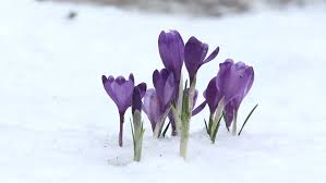 of early violet crocus endure winter cold stock footage