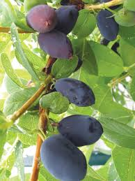 native alaskan plants picked to pour u2014 alaska berries plans winery from plant to