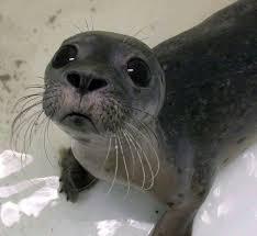 Baby Seal Meme - sad baby seal blank template imgflip