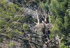 burlington babies bald eagle with babies in nest cootes paradise burlington