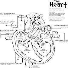 heart anatomy printable coloring pages body systems pinterest