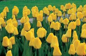 k van bourgondien u0026 sons wholesale flower bulbs and perennials