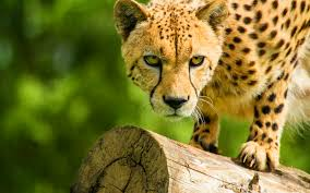 affectionate cheetahs wallpapers cheetah background 6949146