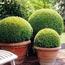 buxus sempervirens in vaso sementes buxinho buxus sempervirens bonsai jardins p mudas r 7