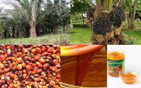 Minyak Cpo kelapa sawit cpo dan pks proses pengolahan sawit menjadi cpo