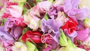 Sweet Pea Images Flower - new covent garden market