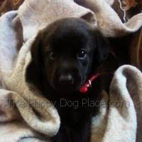 adorable black lab puppy pictures