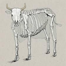 cow anatomy drawing anatomy drawings pinterest anatomy