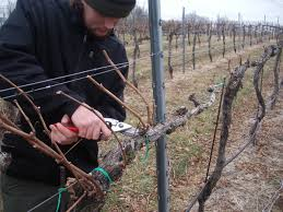 grape vine pruning keswick vineyards