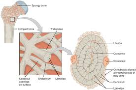 Borders Of The Heart Anatomy Bone Structure Anatomy And Physiology