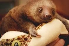 4 toed sloth sloth facts habits habitat diet