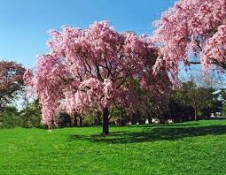 pink weeping cherry for sale the tree center